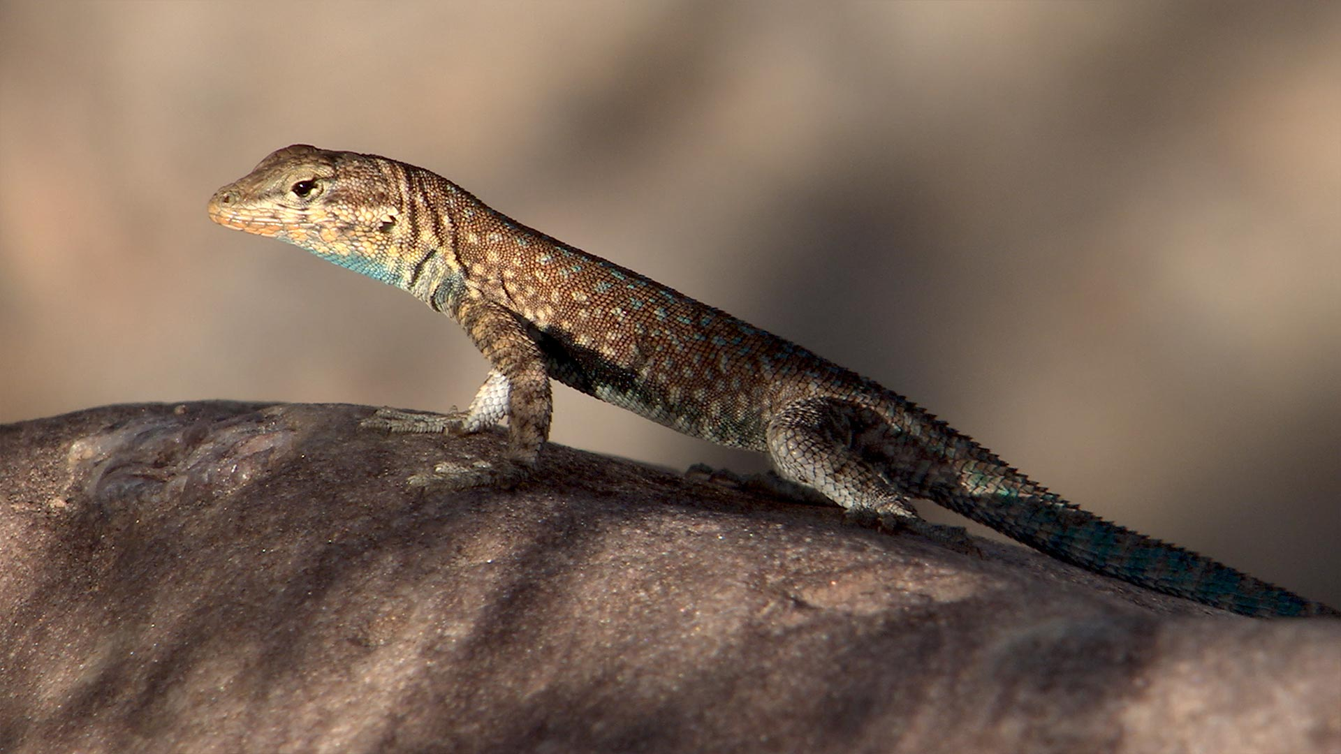 Lizard in the Grand Canyon