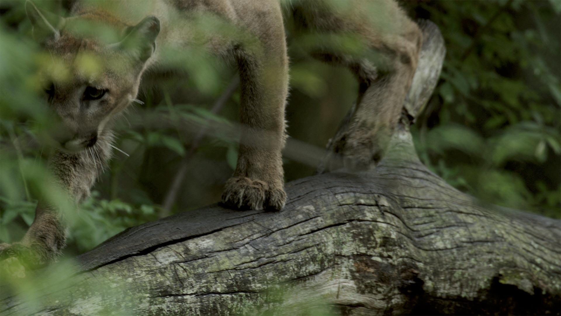 Florida Panther balancing on a log in the forest