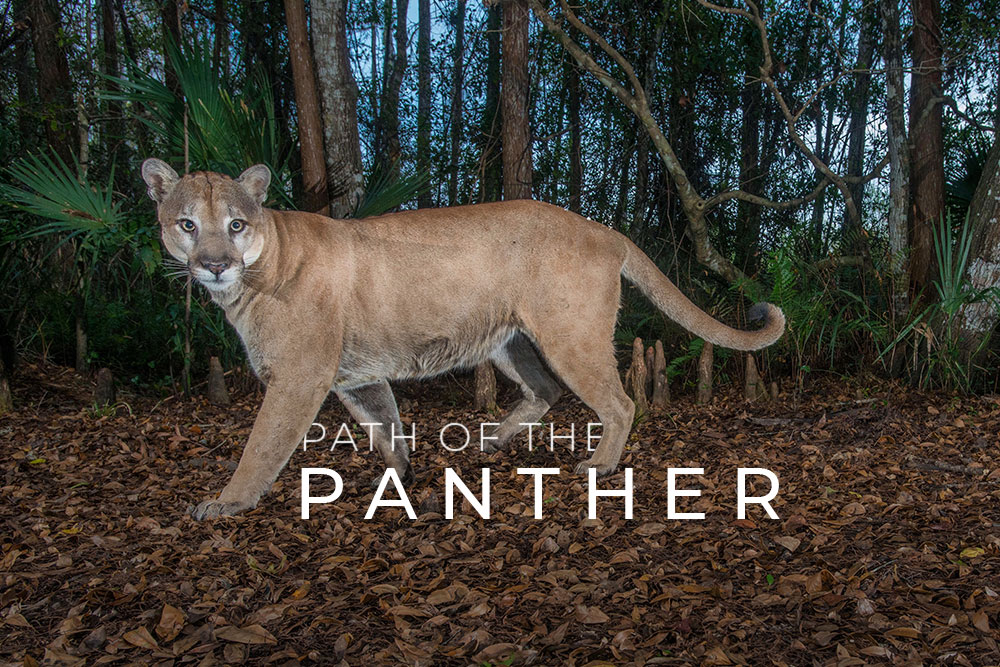 Path of the Panther - In production